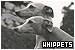 Dogs: Whippets