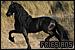 Horses: Friesians